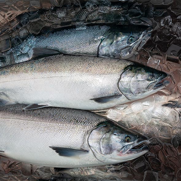 """Featured image for """"How Chemical Toxicity Wreaked Havoc on Coho Salmon"""""""
